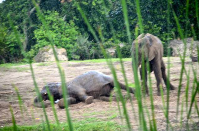 How can anyone resist elephants rolling in the mud?
