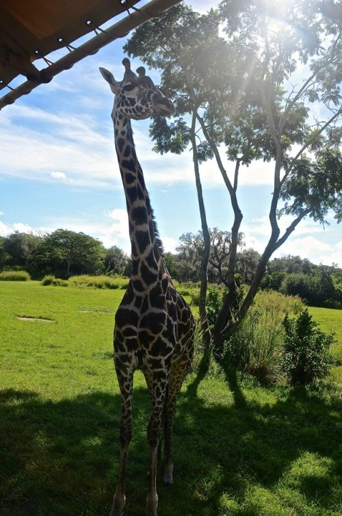 giraffesun