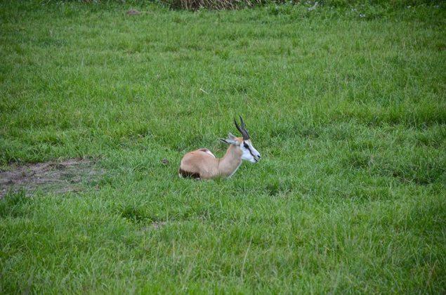 antelope thing